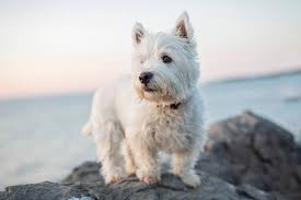 West_Highland_terrier